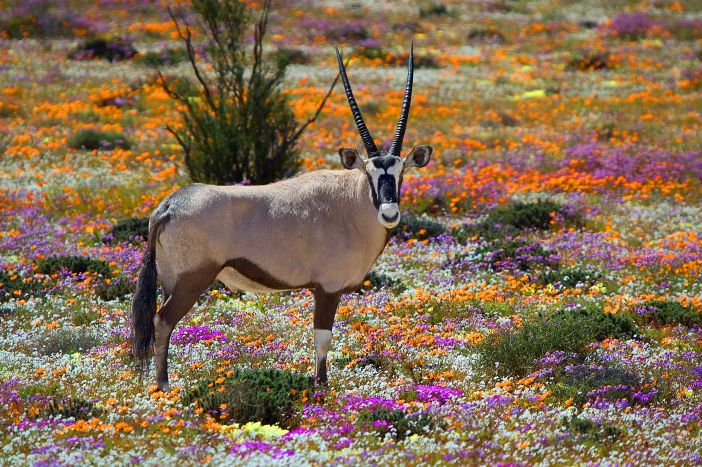 Kalahari-gemsbok-wild-spring-flowers-SS-700-1